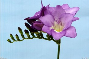 purple_freesia_1920x1280