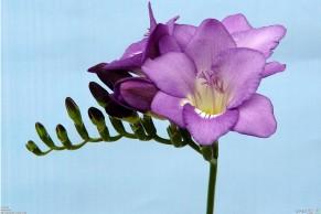 purple_freesia_1920x1280